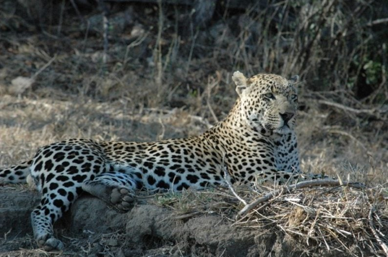 We saw leopards FOUR different times in Mala Mala, South Africa!