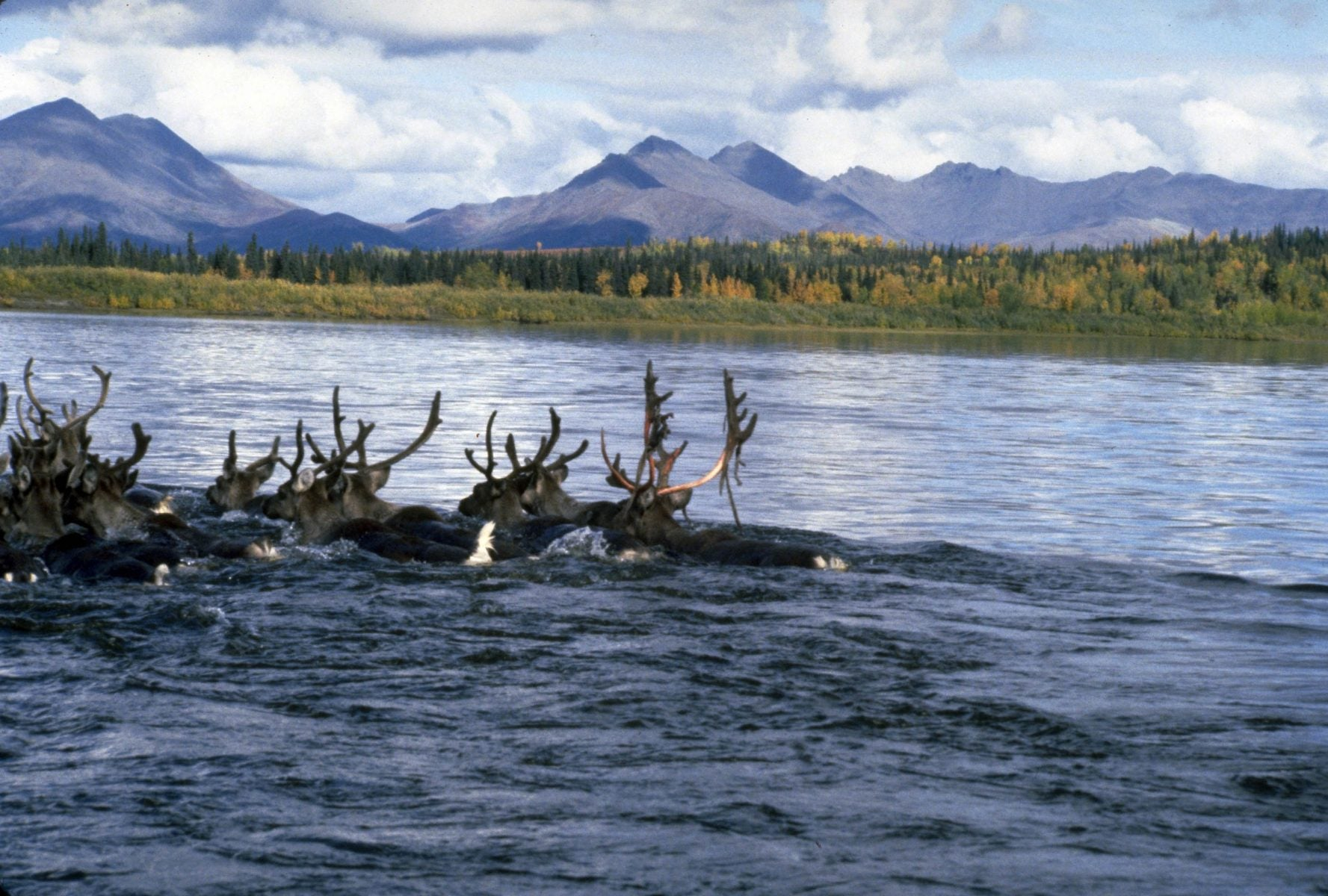 12 caribou with velvet on their antlers swim across a river with mountains and green and gold trees in the background