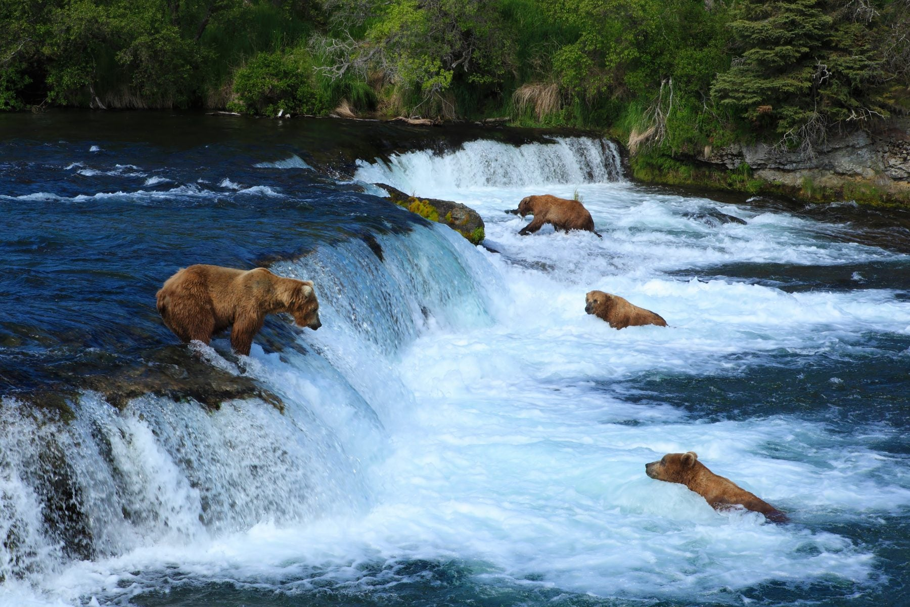 Many Brown Bears in Alaska Catching Salmon